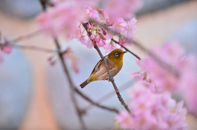 東京ディズニーランドで日本一早く咲く桜をフライングゲットしました。